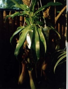 Carnivorous Plant Society of St. Louis Sale @ Missouri Botanical Garden